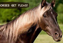 Do Horses get Fleas