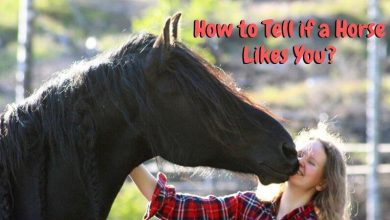 How to Tell if a Horse Likes You_