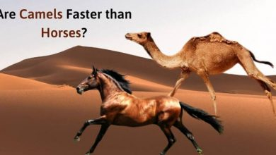 Are Camels Faster than Horses_